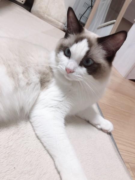 猫 ラグドール むぎちゃんの写真