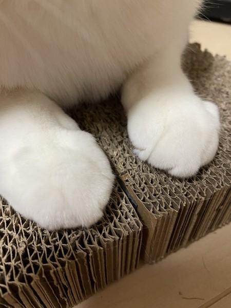 猫 キジシロ ノキアの写真