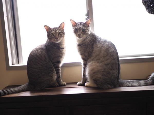 猫 キジトラ 虎(トラ)と景(カゲ)の写真