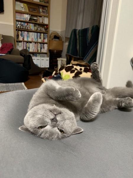猫 ブリティッシュショートヘア 大福の写真