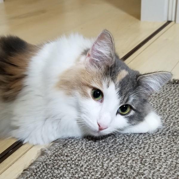 猫 ノルウェージャンフォレストキャット そらの写真