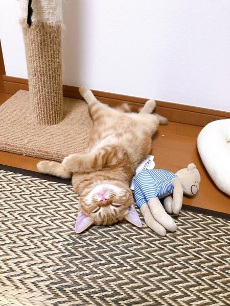 猫 アメリカンショートヘア ももの写真