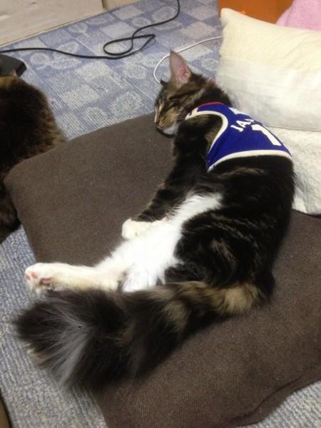 猫 メインクーン ハルの写真