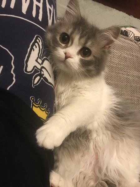 猫 ラガマフィン まかろんの写真