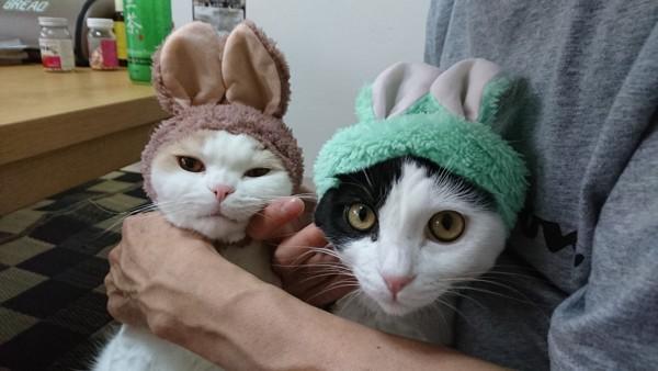 猫 スコティッシュフォールド かあびぃの写真