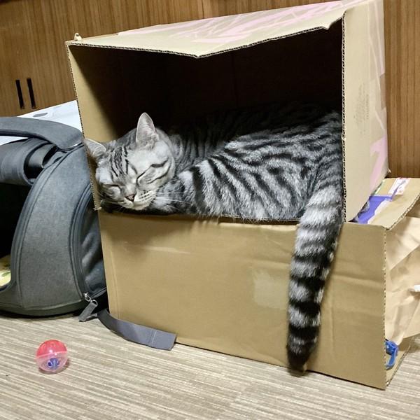 猫 スコティッシュフォールド 銀太郎の写真