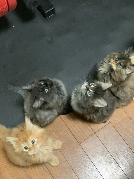 猫 メインクーン エレン・アルミン・ミカサ・リバイの写真