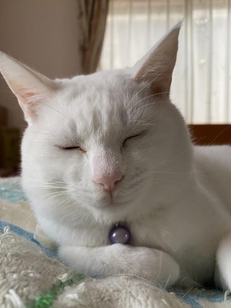 猫 白猫 みかんの写真