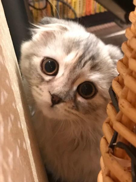 猫 スコティッシュフォールド べべの写真