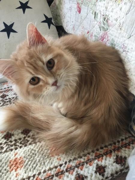 猫 サイベリアン マリーの写真