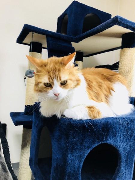 猫 メインクーン ジェンヌの写真