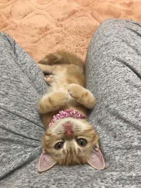 猫 アメリカンショートヘア チャーちゃんの写真
