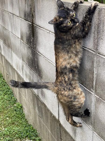 猫 サビ猫 ミカの写真
