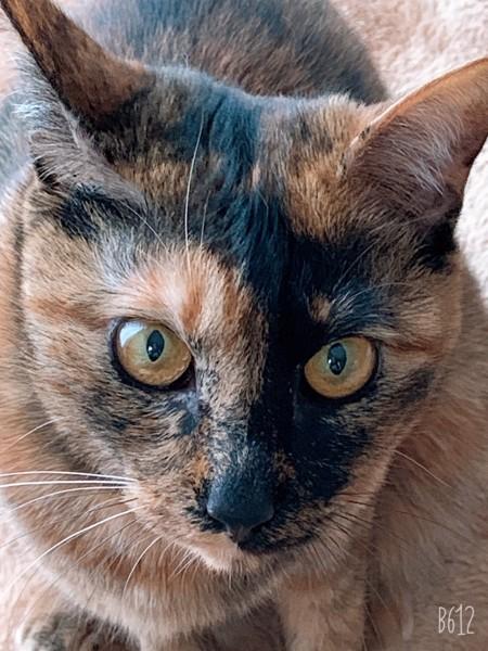 猫 サビ猫 うにの写真