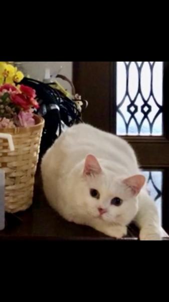 猫 白猫 みるくの写真