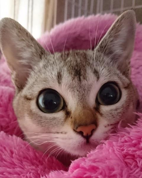 猫 シンガプーラ まりんの写真