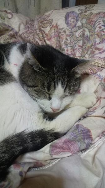猫 キジシロ 茶々の写真