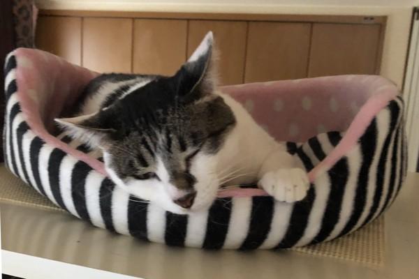 猫 雑種(ミックス) ラブの写真