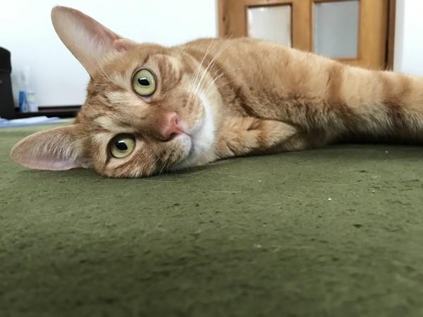 猫 茶トラ こむぎの写真