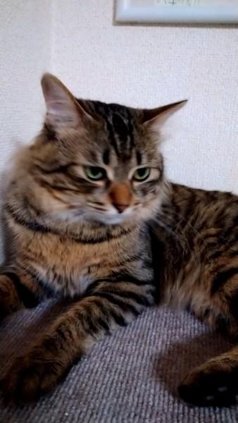 猫 キジトラ ハチの写真