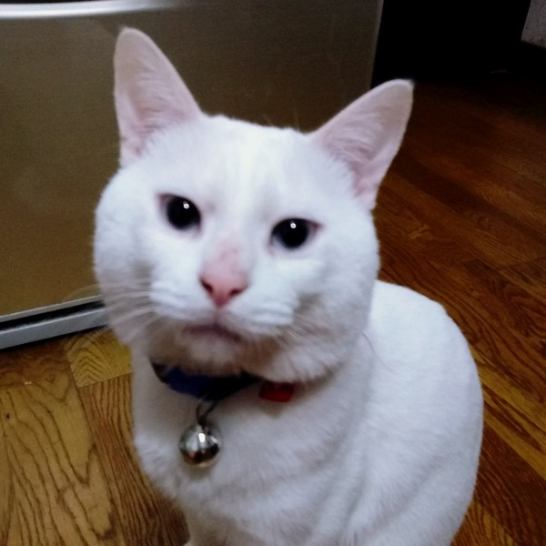猫 白猫 カリンの写真