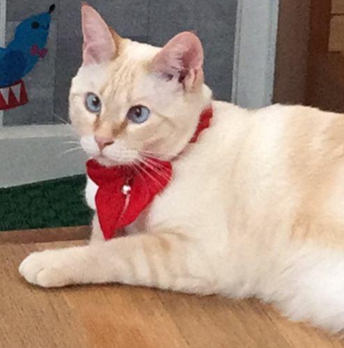 猫 シャムMIX ららまるの写真