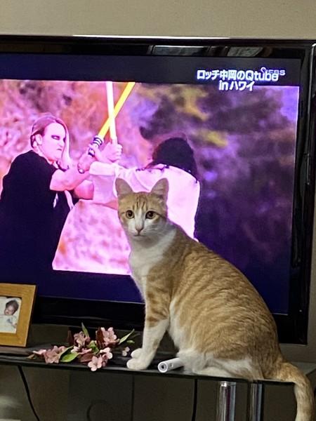 猫 茶白トラ ミモの写真