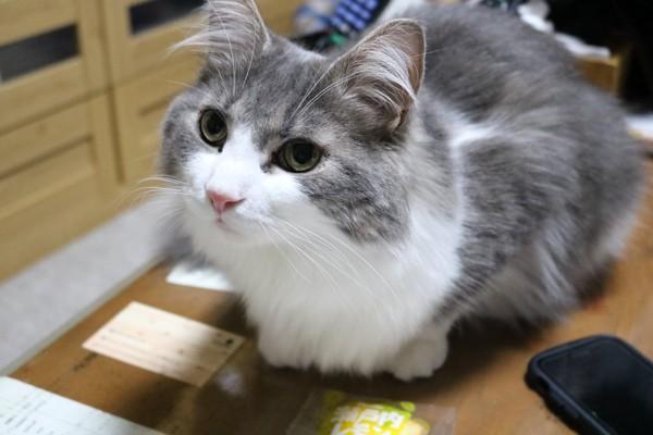猫 ノルウェージャンフォレストキャット ノエルの写真