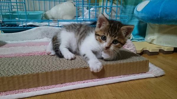 猫 キジシロ ミミちゃんの写真
