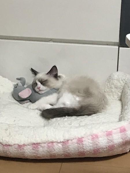 猫 ラグドール チョコちゃんの写真