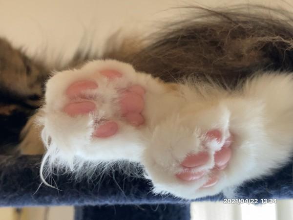 猫 メインクーン ティカの写真
