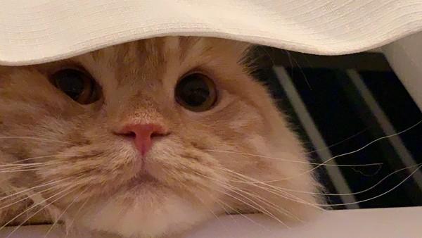 猫 アメリカンカール こてつの写真