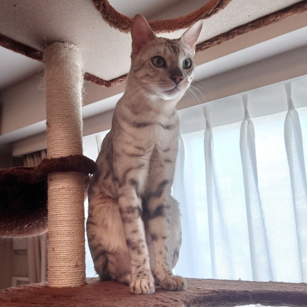猫 ベンガル 景虎の写真
