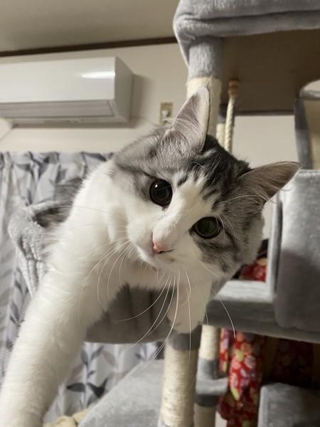猫 雑種(ミックス) まるるの写真