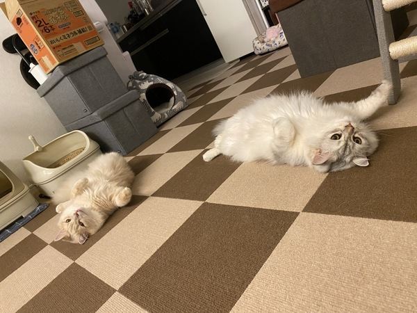 猫 セルカークレックス ノア&メルルの写真