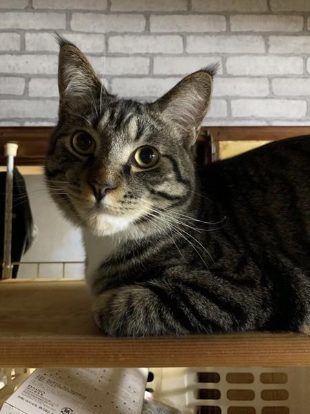 猫 メインクーンとスコティッシュホールドのMIX トム君の写真