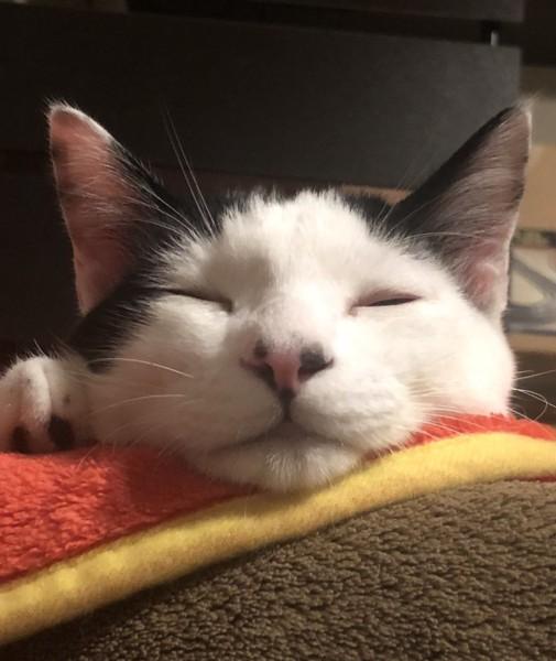 猫 白黒 にゃじの写真