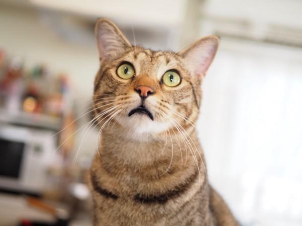 猫 キジトラ 虎(トラ)の写真