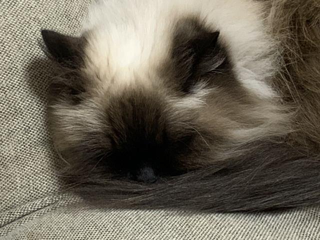 猫 ヒマラヤン モリーの写真