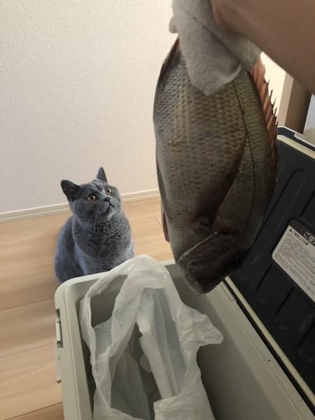 猫 ブリティッシュショートヘア サスケの写真