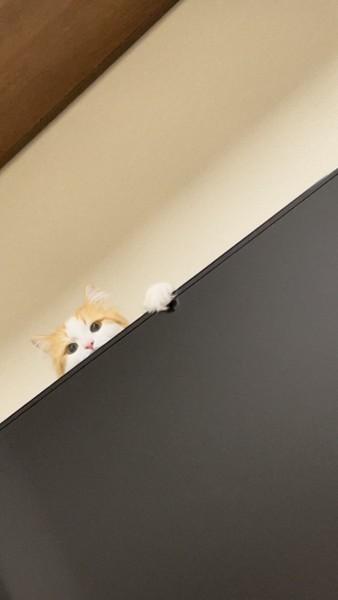 猫 サイベリアン みかんの写真