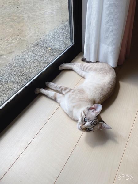 猫 雑種(ミックス) 花ちゃん❤️の写真