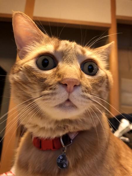 猫 茶トラ ぽっちゃの写真
