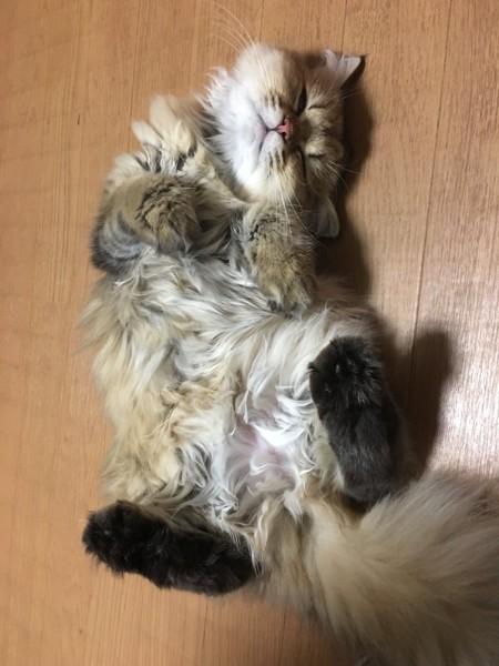 猫 ペルシャ マロン♡の写真