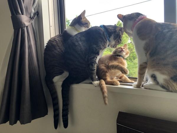 猫 雑種(ミックス) あずき。しじみ。ひめ。ほたて。の写真