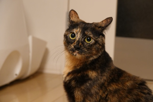 猫 雑種(ミックス) うみの写真