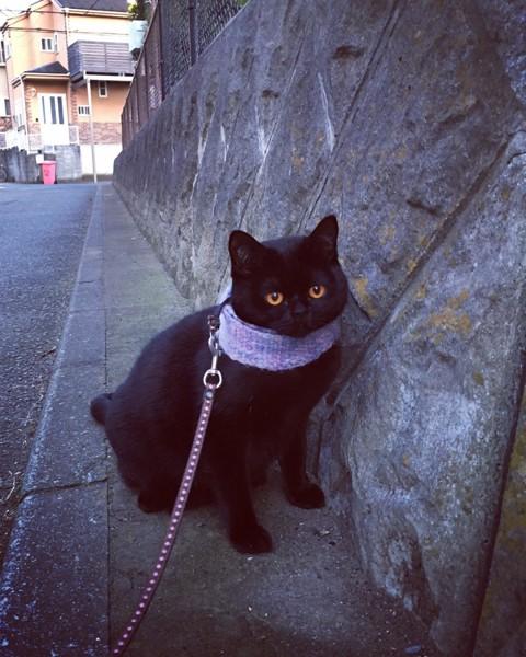 猫 ボンベイ ウィズの写真