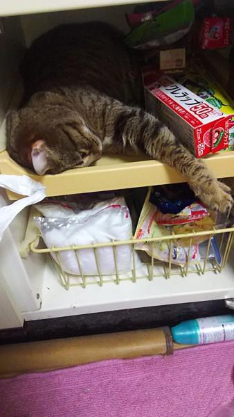 猫 ベンガル こなんの写真