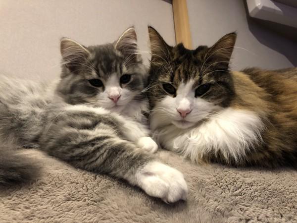 猫 ノルウェージャンフォレストキャット 門松の写真