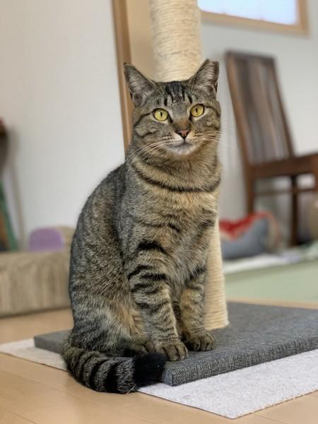 猫 キジトラ ひなたの写真